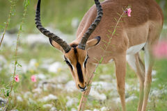 Blackfaced Impala Stock Photos
