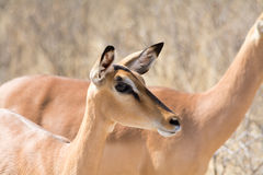 Blackfaced Impala in Etosha National Park Royalty Free Stock Image