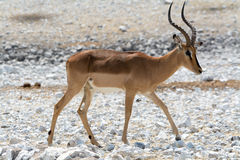 Blackfaced impala Stock Image