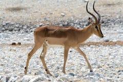 Blackfaced impala stock image