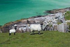 Blackfaced Schafe auf Insel von Lewis Lizenzfreies Stockfoto