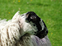 Blackfaced sheep a ewe in profile in a field. With long winter coat stock photography
