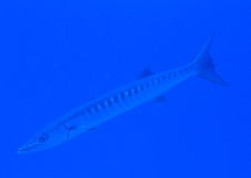 Blackfin barracuda Royalty Free Stock Photo