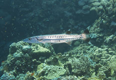 Blackfin barracuda on a reef Royalty Free Stock Photography