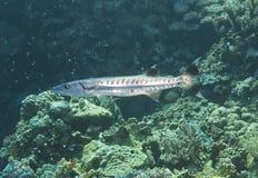 Blackfin barracuda on a reef royalty free stock photography
