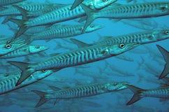 Blackfin or chevron barracuda. A school of barracuda swim past Stock Images