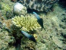 Blackfin dartfish Stock Photos