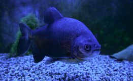 Blackfin pacu鱼 图库摄影