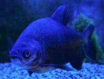 Blackfin pacu鱼 库存照片