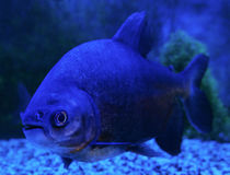 Blackfin pacu Fish Stock Photo