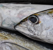 blackfin tuńczyk Zdjęcie Stock