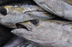 Blackfin Tuna Royalty Free Stock Images