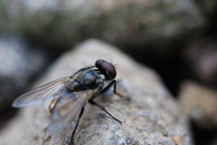 The Blackflies. One of the animals that are harmful to human health Stock Photo
