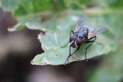 Blackflies. Shit-eating animals that often makes people fall ill Royalty Free Stock Image