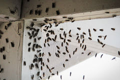 Free Blackflies Swarming Inside A Building Corner On A Window Screen Royalty Free Stock Photos - 97201348