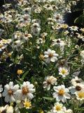 Blackfoot daisies Stock Images
