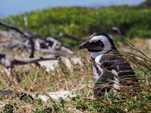 Blackfooted企鹅在南非 库存图片
