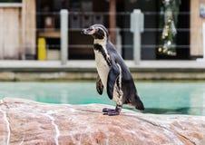 Blackfooted pingvin Fotografering för Bildbyråer