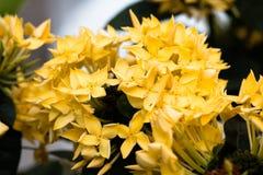 Blackground de floweron de transitoire de Yellower photos stock