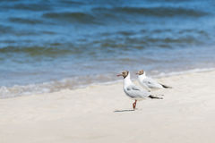 Blackhead gull on the beach. Royalty Free Stock Images