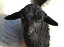Blackhead persian sheep head Royalty Free Stock Images