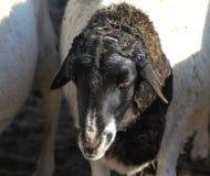 Blackhead persian sheep head Stock Image