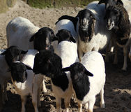 Blackhead persian sheep Stock Image