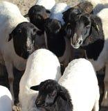 Blackhead persian sheep royalty free stock image