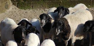 Blackhead persian sheep Stock Images