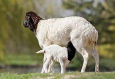 Blackhead persian sheep Royalty Free Stock Photography
