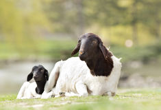 Blackhead Persian sheep. Lying on grass with her lamb stock photos