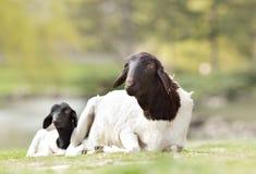 Blackhead Persian sheep Stock Photos