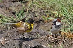 Blackhead wagtail and male house sparrow meeting. Blackhead wagtail and male house sparrow sit side by side on the ground Royalty Free Stock Photography