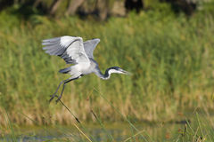 Blackheaded heron taking off Stock Photos