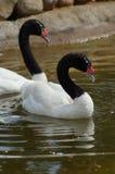 Blackheads swans. Royalty Free Stock Image