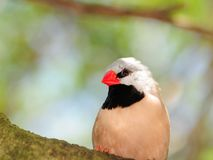 Blackheart finch portrait Royalty Free Stock Images