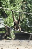 Blackhound gibon στο εθνικό πάρκο στο νησί του Μπόρνεο Kota Kinabalu, Sabah, Μαλαισία Στοκ εικόνα με δικαίωμα ελεύθερης χρήσης