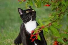 Blackie кот Стоковые Изображения RF