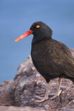 Blackish Ostreycatcher (Haematopus ater) Royalty Free Stock Image