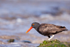 Blackish Oystercatcher Stock Images