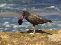 Blackish Oystercatcher, Haematopus ater. A dark shorebird with red beak and whitish legs eating a sea urchin in Paracas National Park Royalty Free Stock Image
