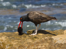 Blackish Oystercatcher,Haematopus ater. A dark shorebird with red beak and whitish legs eating a sea urchin in Paracas National Park Stock Photography
