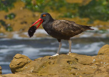Blackish Oystercatcher, Haematopus ater. A dark shorebird with red beak and white legs eating a sea urchin in Paracas National Park Stock Photo