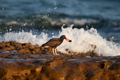 Blackish Oystercatcher with oyster Stock Photography