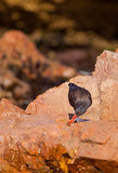 Blackish Oystercatcher on a rock Stock Photos