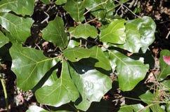 Blackjack Oak. A blackjack oak seedling, Quercus marilandica, growing on the poor sandy soil of the New Jersey pine barrens royalty free stock photo