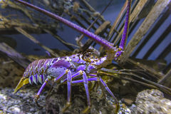 Blacklight glowing purple Lobster in a fishtank. Aquarium views of lively fish in a dark setting stock photos