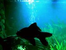 Blackmoor veil tail goldfish Freddy enjoying the water Royalty Free Stock Images