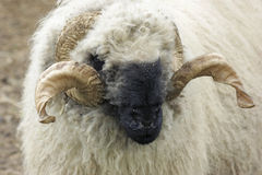 blacknose πρόβατα valais Στοκ Φωτογραφίες