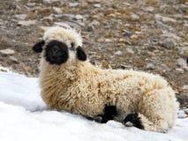 Blacknose lamb lying royalty free stock images